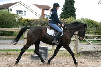 11 year-old - Irish Sport Horse - Sports Horses - Mare - 16.2 hh - West Yorkshire