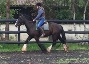 Irish Cob - Cobs - 15.3 hh - Norfolk