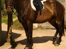 Beautiful, kind 16. 1hh Bay gelding 8 years Ex polo