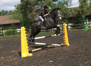All Rounder - 16.3 hh - Norfolk