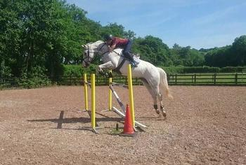 7yr old, 17hh Gelding by Natal