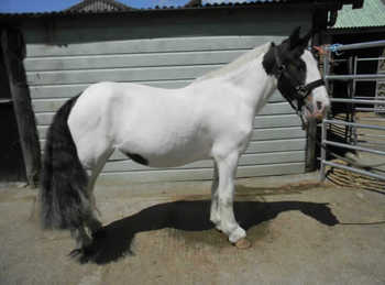 Middleweight - For Adoption - Mare - 11.2 hh