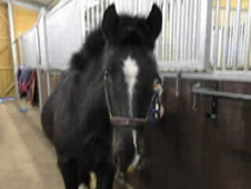 2 year-old - Cob - Cob - ***Gender Unknown*** - 12. 3 hh - Surrey