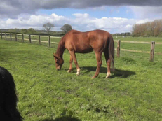 Thoroughbred - For Adoption - Gelding - 16 hh