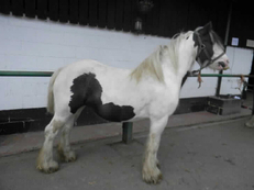 Middleweight - For Adoption - Mare - 13.3 hh