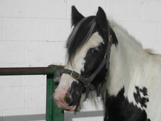 Middleweight - For Adoption - Mare - 13 hh