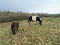 **Five Star** Home Wanted For Shetland Stallion Pony