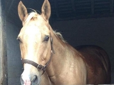 Bombproof gentle 16hh palomino for part loan