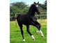 FUTURE GRAND PRIX SJ YEARLING COLT