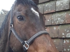 Part loan/share 16. 1hh Thoroughbred 16 year old mare