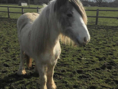 Middleweight - For Adoption - Filly - 12 hh