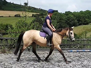 Irish Sport - All Rounder - Mare - 16 hh - Powys