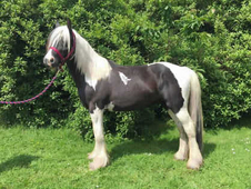 3 year-old - Cob - All Rounder - ***Gender Unknown*** - 14 hh - Y...