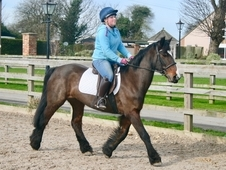15 year-old - Dales - Hunters - Mare - 14 hh - West Yorkshire