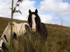 2 year-old - Cob - Cob - Gelding - 13 hh - Northumberland