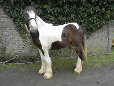 2 year-old - Cob - Cob - ***Gender Unknown*** - 13 hh - Kent