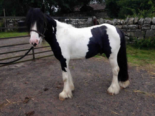 4 year-old - Cob - Cob - Gelding - 12. 3 hh - Northumberland