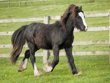 2 year-old - Cob - All Rounder - ***Gender Unknown*** - 11 hh - D...