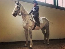 BEAUTIFUL 15. 2HH IRISH SPORTS HORSE