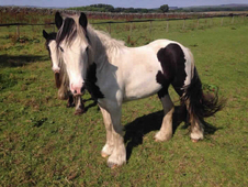 1 year-old - Cob - All Rounder - Filly - 13 hh - Northumberland