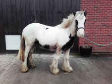 All Rounder horse - 3 yrs 13. 1 hh Piebald - Shropshire