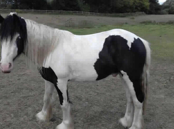 Lightweight - For Adoption - Gelding - 12 hh - Northumberland