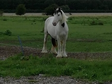 Stunning black and white gypsy mare