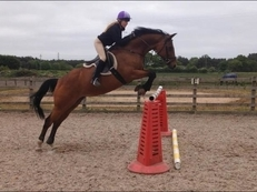 15.3hh, 15 year old, Irish sports horse