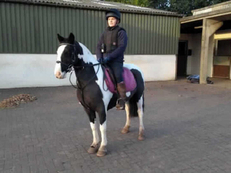 Middleweight - For Adoption - 12.2 hh