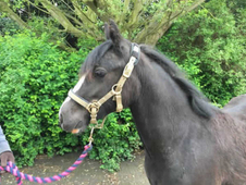 2 year-old - Cob - All Rounder - Filly - 12 hh - Denbighshire