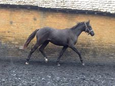 All Rounder horse - 16. 2 hh Black - Cambridgeshire
