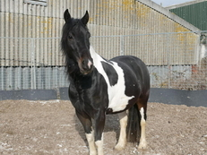 Lovely 14.2 Cob Type 5 Year old