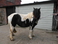 9 year-old - Cob - Cob - ***Gender Unknown*** - 12. 2 hh - Kent