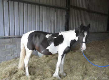 Middleweight - For Adoption - Gelding - 14 hh - Hampshire