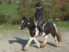 13 year-old - Irish Cob - All Rounder - Mare - 14.3 hh - Powys