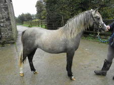 2 year-old - ***Breed Unknown*** - All Rounder - Filly - 12 hh - ...