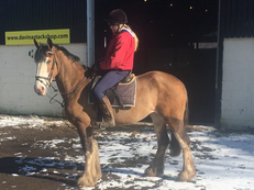 All Rounder - Mare - 15.2 hh - Norfolk