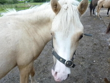 PALOMINO COLT YEARLING