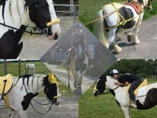 15hh cob mare for sale