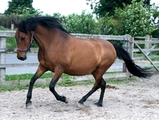 9 year-old - Hispano - All Rounder - Mare - 14 hh - West Yorkshire