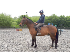 17 year-old - Irish Cob - All Rounder - Gelding - 15.2 hh - Powys