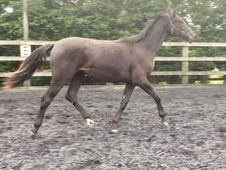 All Rounder horse - 16. 1 hh Black - Cambridgeshire