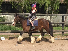 9 year-old - Irish Cob - Cobs - 14 hh - Norfolk