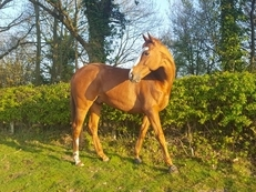 16h, 8 yr old, TB gelding to share