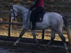 KWPN Gelding for Sale