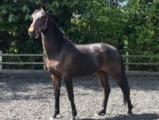 2015 filly by elite stallion Soliman De Hus (Sandro Hit x Donnerh...
