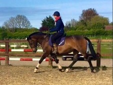 Sainthill Sandpiper 15. 2hh ID x TB 7 year old Bay Mare