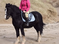 14.1hh handsome cob gelding - Charity Rehome