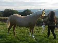 Registered Palomino Welsh Section C