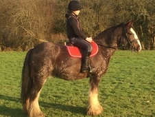 14hh Striking snowflake Appaloosa 6yo gelding